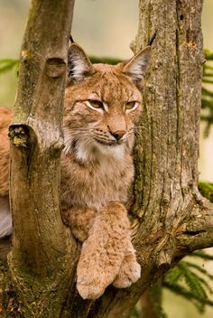 Lynx, Assling-Lienz-Ostirol (Austria), by luvi Cat Bobcat, Serval Cats, Little Kittens, Big Cats, Cats And Kittens, Lynx, Crazy Cat Lady, Crazy Cats, Beautiful Cats