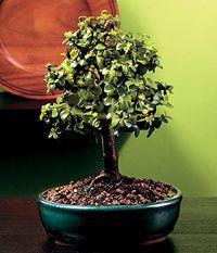 Jade Bonsai Tree - Portulacaria afra