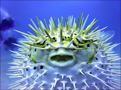 Pufferfish! At first glance, they are slow-moving, gentle, beautiful. But beware. When threatened, these fishes can transform themselves into weapons and turn into one of the deadliest creatures in the world.