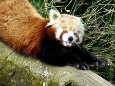 le beau panda roux! étirements après la sieste.