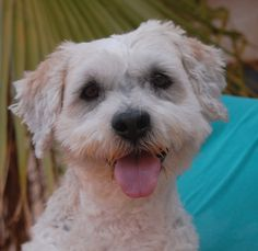 Elvis is a joyful boy asking you to accept his lifelong, unconditional love.  He is a Cockapoo, 5 years of age, neutered, and debuting for adoption today at Nevada SPCA (www.nevadaspca.org).  Elvis enjoys people and gets along well with other dogs.  He was at another shelter that asked for our help due to his timidity with being handled by people in uniforms.  We don't know what Elvis has endured, but cheerfulness is now his dominant emotion.