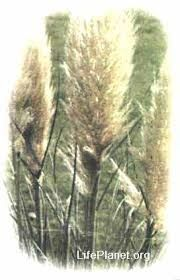 Картинки по запросу родина кортадерия пампасная трава