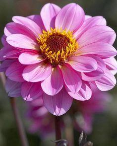 Rosamunde - Lilac-pink. Paeonia. Bright pink flowers on dark foliage