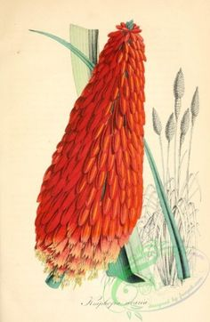 flowers-30177 - kniphofia uvaria [2113x3242] - Artscult scrapbooking blooming 1700s ornaments pages wall transfer pack qulity naturalist vintage Edwardian 1900s Pictorial paintings 18th  botanical high free fabric flowers picture flower commercial art printable royalty beautiful illustration download digital domain ArtsCult craft instant pre-1923 lithographs supplies nice Paper flora botany collection collage 300 dpi nature century clipart public floral plants books Graphic use 17th scan…