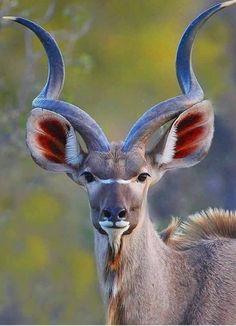 Nature animals - Beautiful Kudu Bull (similar to an Impala or an Antelope) Rare Animals, Animals And Pets, Funny Animals, Bizarre Animals, Exotic Animals, Colorful Animals, Unique Animals, Small Animals, Beautiful Creatures