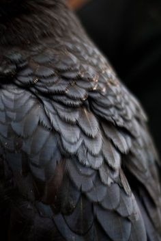 Raven by copperarabian/deviantART A white raven guards glimmered Affaraon Raven Feather, Raven Bird, Maleficarum, White Raven, Wiccan Art, Yennefer Of Vengerberg, The Ancient Magus Bride, Raven Queen, Vox Machina