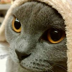 毛布の中から胸元で上目遣い…💓💓 . .  カワイスギル…(/-\*)❤ . .  はい。親バカです。 . . #シャル#シャルトリュー#chartreux#cat#catsofinstagram #instacat#chartreux_feature #neko#nekostagram #graycat #bluecat #ねこ#猫#ねこ部#ねこら部#グレー猫#グレ猫倶楽部#愛猫#美猫#ふわもこ部  #catlove#petstagram #にゃんすたぐらむ#にゃんだふるらいふ#ネコスタグラム#silvercat #みんねこ#猫との暮らし #catslife#猫ばか