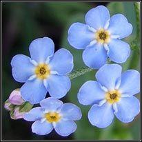 Irish Wildflowers - Water Forget-me-not