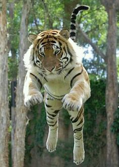 The flying tiger 🐅 - Photo credit: unknown Animals And Pets, Baby Animals, Funny Animals, Cute Animals, Animals Planet, Big Cats, Cats And Kittens, Cute Cats, Tiger Pictures