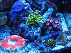 coral fluorescence | coral fluorescence