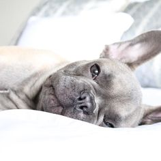 """""""I am Silently screaming for coffee"""", Enzo, the French Bulldog Puppy, #littleenzo_the_frenchie on instagram."""