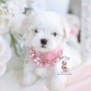 White Maltipoo Puppies For Sale Cuteteacuppuppies Morkie Puppies