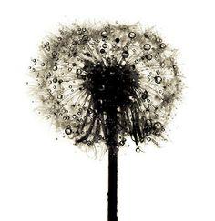 Irving Penn, Dandelion/ Taraxacum officinale, New York, ca 1973 Irving Penn Flowers, Still Life Photography, Art Photography, Flower Photography, Artistic Photography, Vintage Photography, Taraxacum Officinale, Scandinavia Design, Natural World