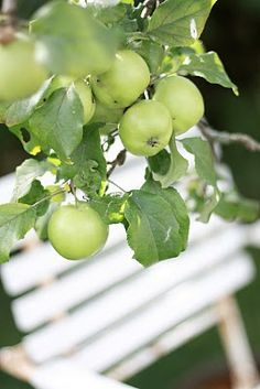 The summer apples are ripe and ready to pick...........