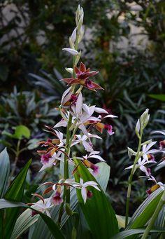 A Coluna Orchid: Phaius, Orquídea do Nun-Phaius tankervilleae
