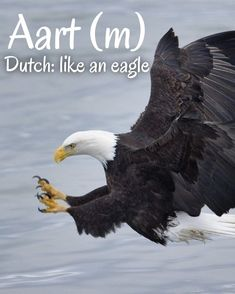 Dutch Names, Eagles, Bald Eagle, Bird, Animals, Animales, Eagle, Animaux, Birds