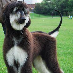 afghan hound | afghan hound | Flickr - Photo Sharing!
