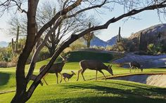 Beautiful deer family out grazing on the Boulders Golf Course as the sun dips down.