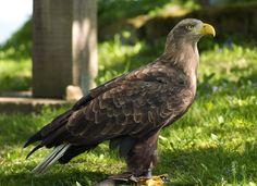White-tailed Eagle (LC) White Tailed Eagle, Exotic Birds, Birds Of Prey, Raptors, Eagles, Bald Eagle, Wildlife, Animals, Hawks