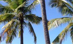 Blue sky above Australia's palm tree's