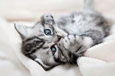 Die Fototapete zeigt ein getigertes Kätzchen auf einer Kuscheldecke. Entspannt liegt das Kätzchen auf dem Rücken und macht es sich bequem. Eine Fototapete, nicht nur für Katzenliebhaber. #wallpaper