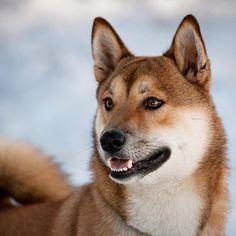 Ok...I am ready for my close-up✨ **not TOO close now** #charmingpuprep #LAPSpringSearch #hikingwithdogs #dogsonadventures #adventurewithdogs #getaboveitall #shibasnap #ippo #ippotheshiba #shiba #shibainu #柴犬 #shibapuppy #shibapuppymania #shibastagram #shibamania #shibalove #puppiesofinstagram #dogsofinstagram #shibagram #shibaholics #dogsofficialdog #japanesedog #bestwoof #barkhappy #proudshibas #puppy_tales #cannatungphotography
