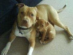 How can you look at this pix and not love these two pups ... who happen to be pit bulls?  Pit bulls are NOT dangerous just because the breed has a bad rap.