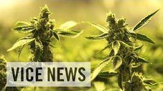 Inside the cannabis industry #Vice #StonedTube #StonedMediaGroup