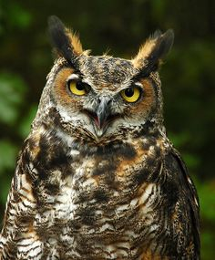 A great horned owl photographed in Massachusetts. What other wildlife will you find in New England? (Photo: Bill Byrne/Massachusetts Energy and Environmental Affairs)