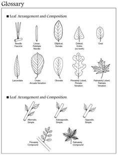 Plants , 7 Leaf Tree Id Key Review : Tree Leaves Identification