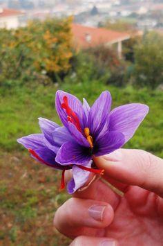 """Fiore di Crocus sativus (zafferano - ) - """"Söfran - Zafferano di Caraglio e della Valle Grana"""""""