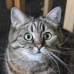 Муху увидела #dashkathecat #cats_and_kittens #topcatphoto #meowbox  #cat_fotografia #cat_and_dog #cats_ingram #fly #hunting #huntress #playcat #eyes #cateyes #дашка #муха #охота #охотница #кошка #кот #котейка #коты #котик #охотники #домашниехищники #хищник #pet #petstagram