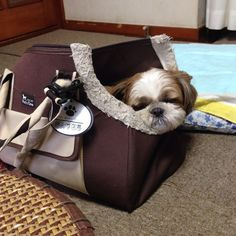 Taking a little nap before my big trip . . .Is Shih Tzu the right breed for you? #shihtzu