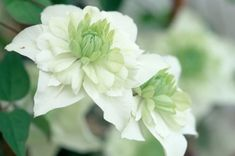 Clematis Cirrhosa, Clematis Viticella, Gladiolus Bulbs, Daffodil Bulbs, Summer Flowers, Colorful Flowers, White Flowers, Clematis Florida, Gardens