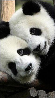 Panda Love <3 ***************