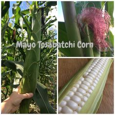 Mayo Tosabatchi is a landrace corn grown by the Mayo, an indigenous people of Sinaloa, Mexico. Landraces are full of genetic diversity and this one blew us away with its stunning vigor and variations in stem, silk and tassel color. And get this: we watched it grow 16 ft. tall! Order now for the 2016 growing season!