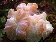 Stony Corals LPS, Large Polyp Stony Corals, Coral Information and Coral Pictures Saltwater Tank, Saltwater Aquarium, Aquarium Fish Tank, Underwater Theme, Underwater World, Underwater Creatures, Ocean Creatures, Coral Reefs, Pisces