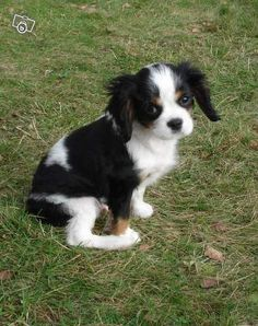 cavalier king charles... cutest breed ever