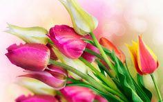 Beautiful Nature Flower Tulip Screensavers 13