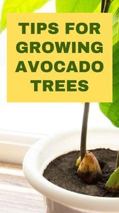 Regrow Vegetables, Growing Vegetables, Growing Plants, Veggies, Garden Yard Ideas, Garden Planters, Growing An Avocado Tree, Avocado Plant, Inside Plants