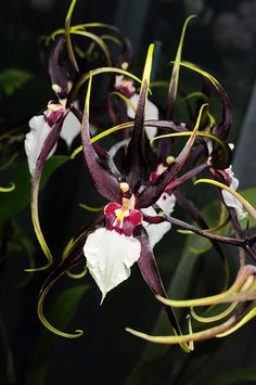 Odontobrassia Kenneth Biven by Nurelias, via Flickr