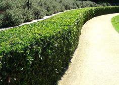 Murraya paniculata hedge
