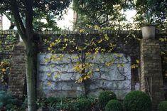 An espaliered tree in a back corner of designer Neisha Crosland's London garden. Photograph by Christine Hanway.