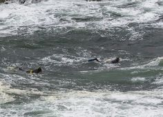 Can You See Them? Divers/ snorkelers off the Pacific Coast in Mendocino, California.