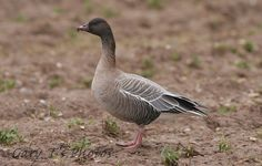 Pink-footed Goose (Adult)