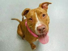 TO BE DESTROYED - 09/15/14 Manhattan Center -P  My name is SHIRLEY. My Animal ID # is A1013071. I am a female brown and white am pit bull ter. The shelter thinks I am about 3 YEARS old.  **IN MEMORY OF THOSE THAT DIED, $150 DONATION TO THE NEW HOPE RESCUE THAT PULLS**  I came in the shelter as a STRAY on 09/05/2014 from NY 10465, owner surrender reason stated was…