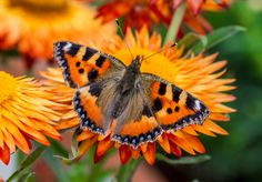 Butterfly Painting, Indian Summer, Beautiful Butterflies, Dragonflies, Animals And Pets, Diana, Pup, Tattoo, Nice