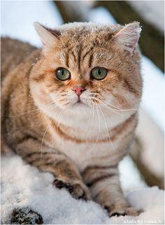 cybergata:  British Shorthair Kitteh in Russian Snow