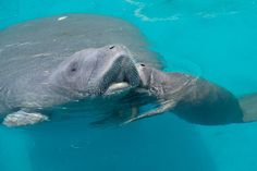 A pregnant Manatee rescued by SeaWorld's Animal team in June has given birth to a healthy Manatee calf.