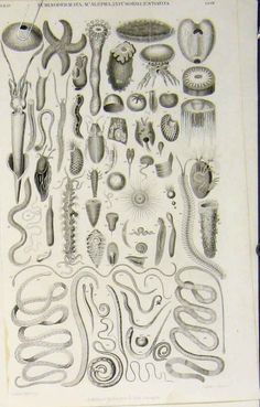 encyclopedia prints | 19 - Antique Print Popular Encyclopedia Echinodermata Acalepha ...